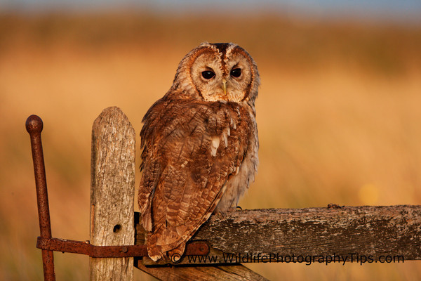 Tawny owl in the evening light during a bird photography session