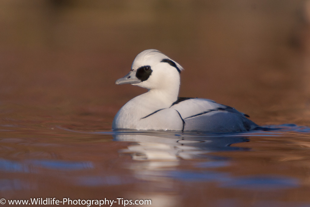 Smew (Mergellus albellus) showing the eye brought to life with a catchlight.