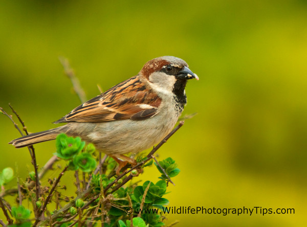 House sparrow photographed in backyard